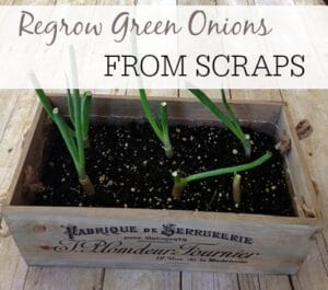 Regrow Green Onions From Scraps