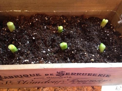 regrowing-green-onions-.jpg