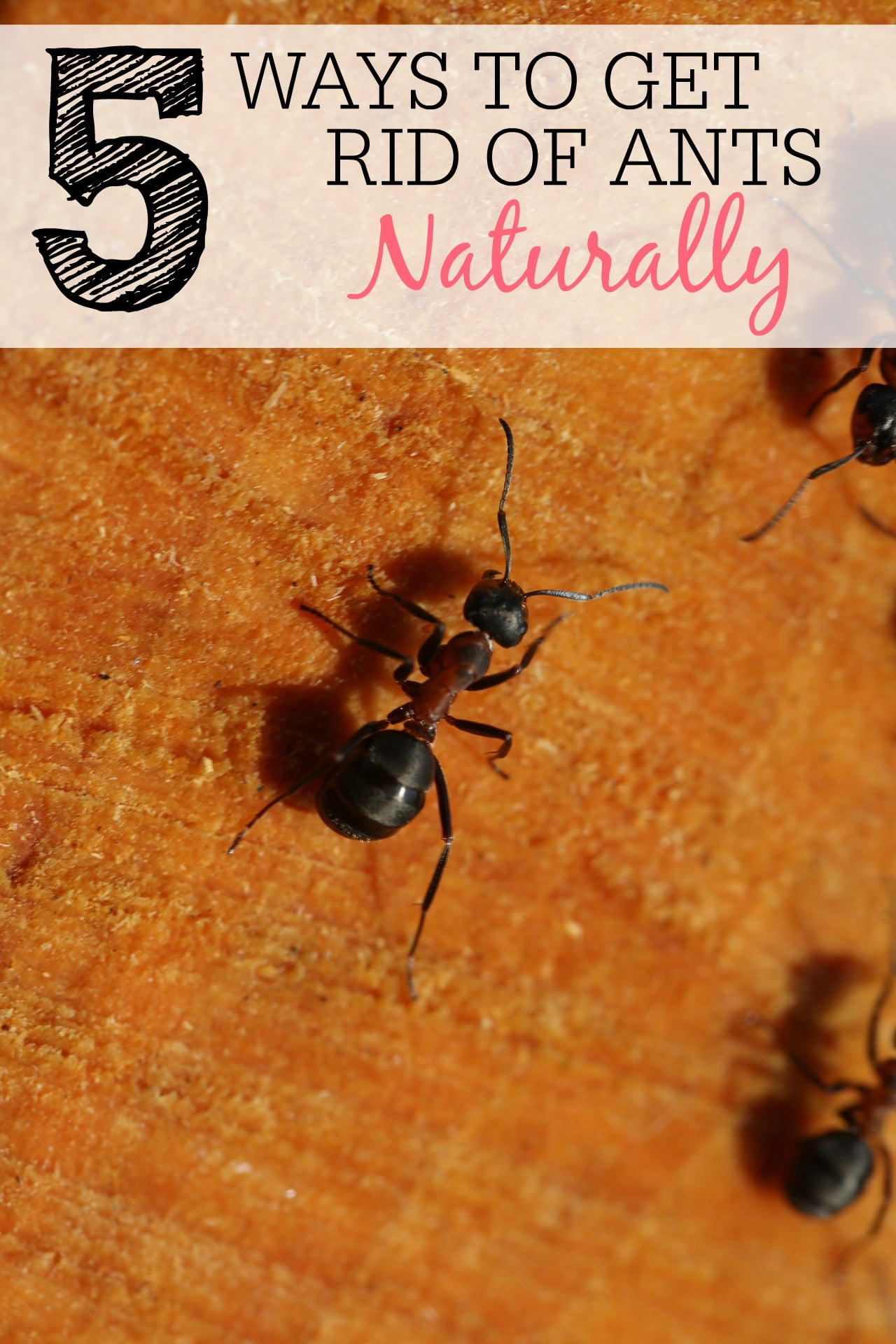 Ways To Get Rid Of Ants Naturally Frugally Blonde