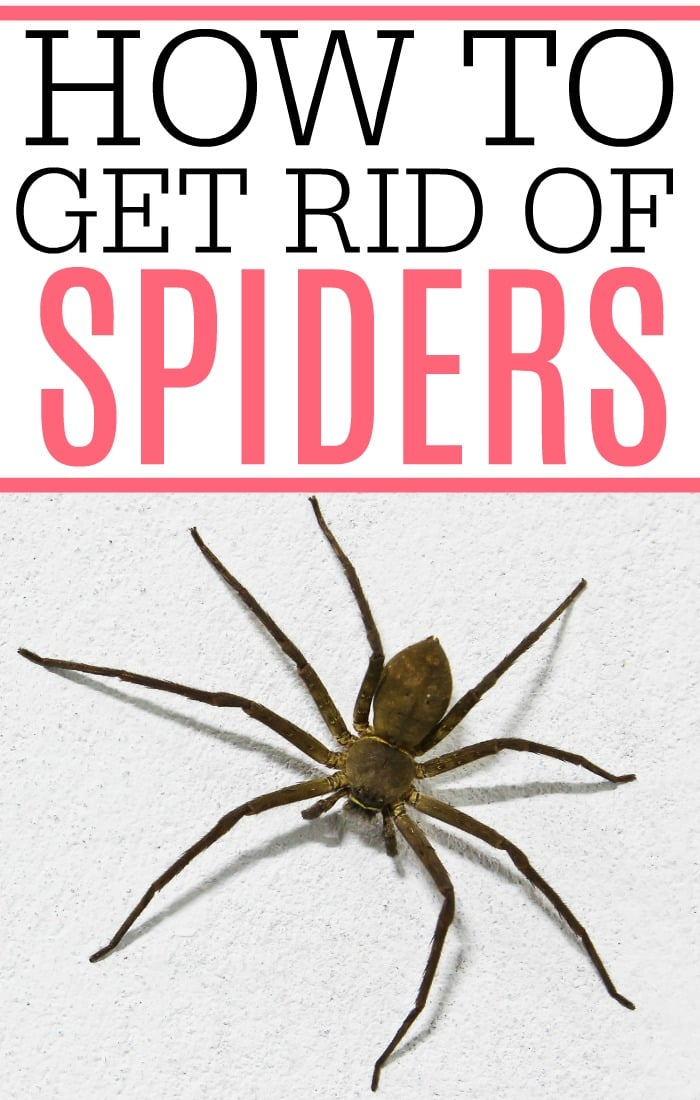 Hate those creepy, crawly bugs around your house? Check out how to get rid of spiders. It's easy to get rid of spiders without using a bunch of chemicals.